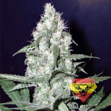 Spanna Seeds Auto Cheese Feminised