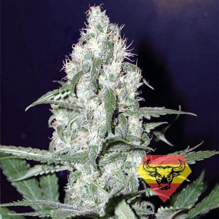 Устойчивые к плесени сорта марихуаны бесплатно скачать картинки конопля