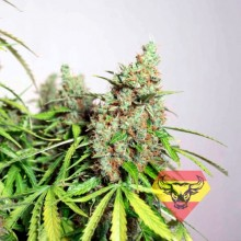 Spanna Seeds Auto Super Mazar Feminised
