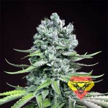 Spanna Seeds Auto Super Skunk Feminised