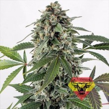 Spanna Seeds Auto White Widow Feminised