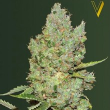 Victory Seeds Auto Critical Feminised