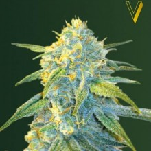Victory Seeds Auto Northern Light Feminised