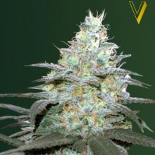 Victory Seeds Auto Original Berry Feminised