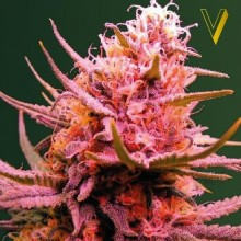 Victory Seeds Auto Seemango Feminised