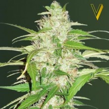 Victory Seeds Auto Ultra Power Plant Feminised