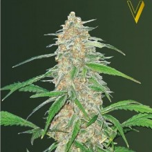 Victory Seeds AK-77V Feminised