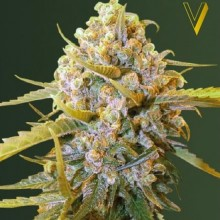 Victory Seeds Biggest Bud Feminised