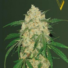 Victory Seeds Bubblegum+ Pro Feminised