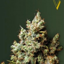 Victory Seeds Northern Light Feminised