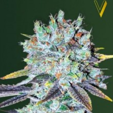 Victory Seeds Original Berry Feminised