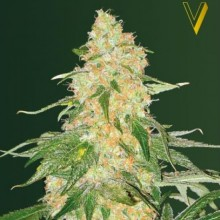 Victory Seeds Super Extra Skunk Feminised