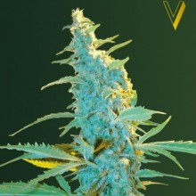 Victory Seeds Ultra Power Plant Feminised