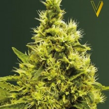 Victory Seeds White Widow Feminised