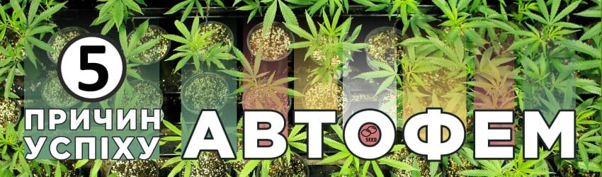 Чому автоквітучі фемінізовані насіння марихуани такі популярні?