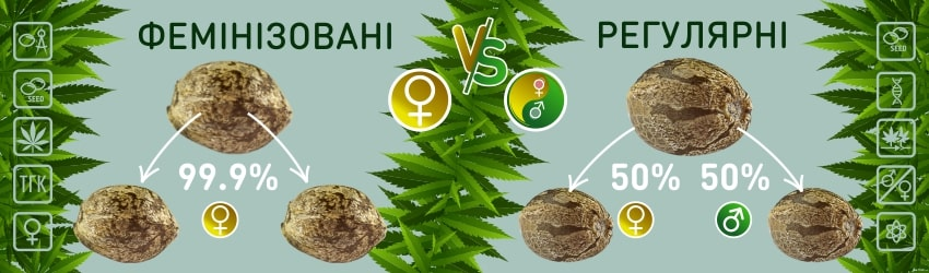 Фемінізовані насіння і регулярна конопля: в чому різниця?