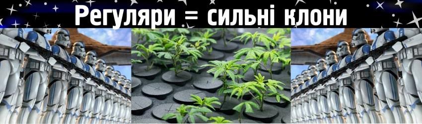 Регулярні насіння коноплі - клонування марихуани