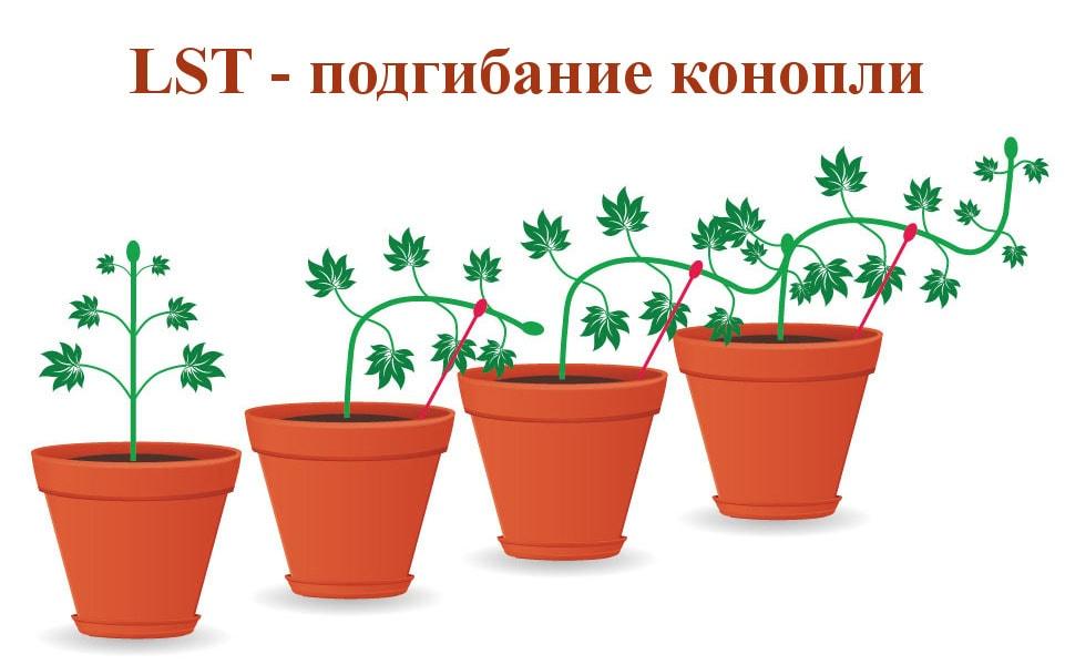 Подгибать марихуану конопля изображение