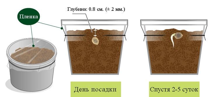 Как всходит семя конопли как конопля влияет на потенцию
