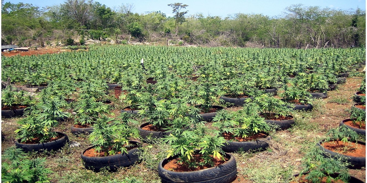 Самый большой тгк в конопле купить марихуаны в орске