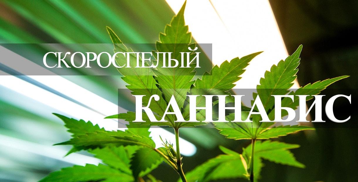 Самый опасный сорт конопли последствия марихуаны