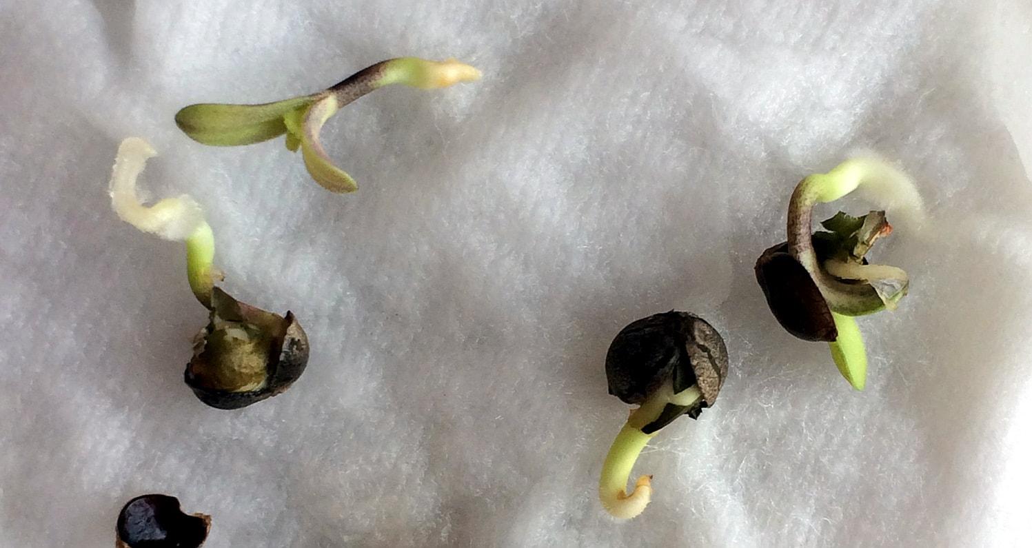 Прорастание семян канабиса опасно или нет курить коноплю