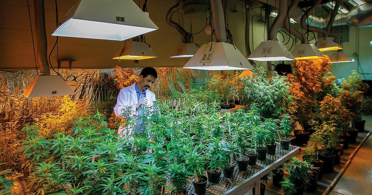 Виды хороших коноплей в американском штате марихуана