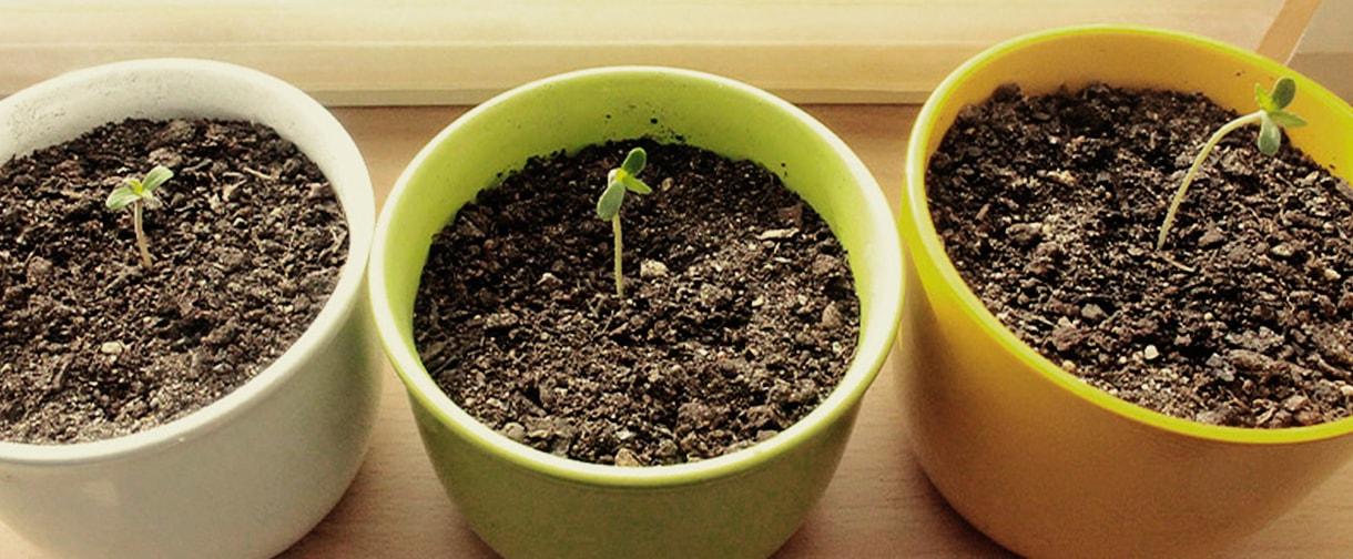 Лучшая почва для марихуаны конопля дикая в астрахани